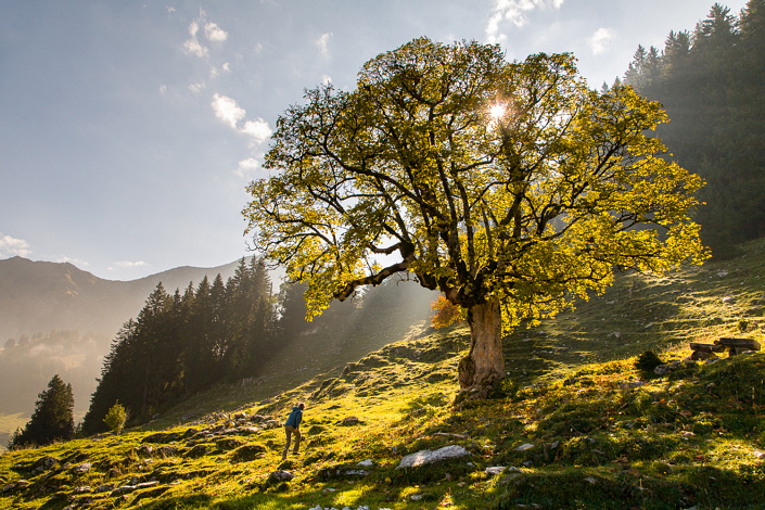 Érable sycomore à l'arrviée dans la vallée de la Brecca. Suisse