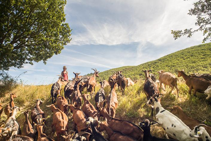 Chèvres de la ferme du petit Jabron. Vallée du Jabron, Alpes-de-Haute-Provence